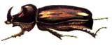 Загін: coleoptera [scarabaeida] linnaeus = жуки, або жорсткокрилі